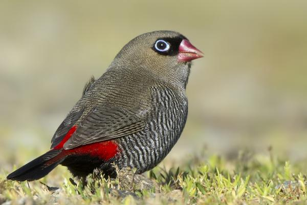 Beautiful Firetail - Craig Greer