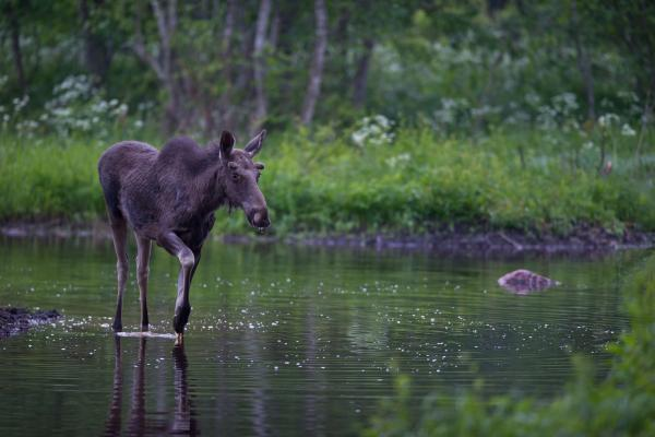 Young Bull Elk - Tarmo Sammal - Estonia - Inala Nature Tours
