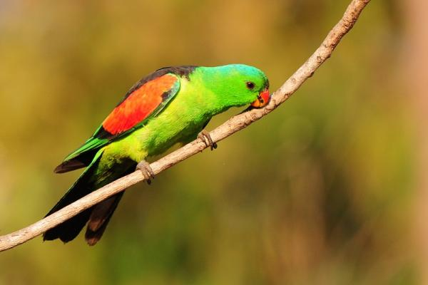 Red-winged Parrot - Pat Kelly - Inala Nature Tours