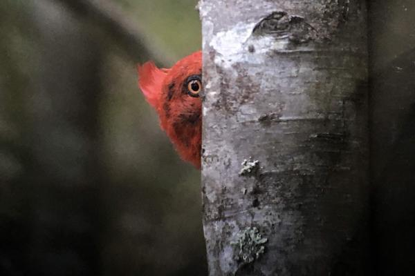 Magellanic Woodpecker - Tonia Cochran - Inala Nature Tours