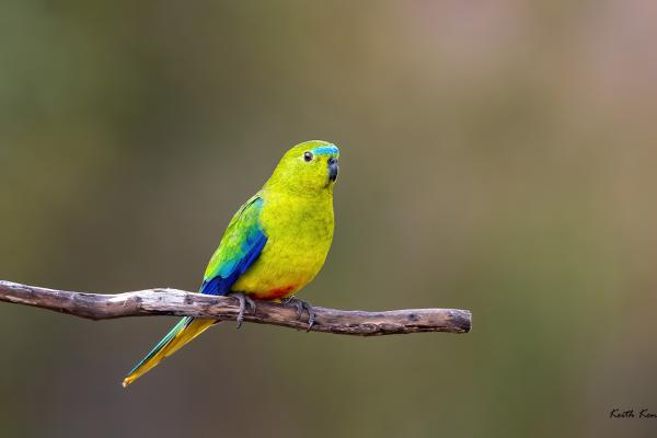 Keith Kennedy - Orange-bellied Parrot - Inala Nature Tours