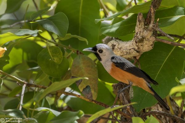 Inala Nature Tours - Black-winged Monarch - Alfred Schulte