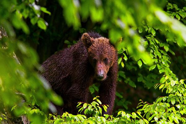 Brown Bear - D. Petrescu - Inala Nature Tours