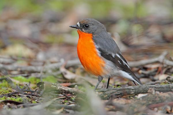 Flame Robin by Chris Tzaros